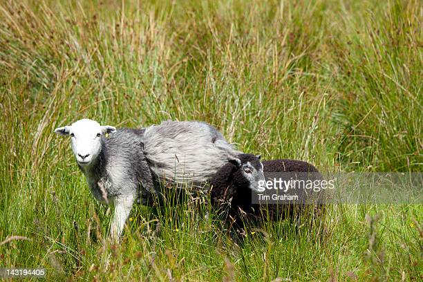 Traditional Herdwick sheep at Langdale in the Lake District National Park Cumbria UK