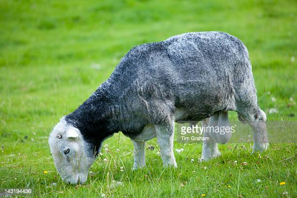 Traditional Herdwick sheep at Wastwater in the Lake District National Park, Cumbria, UK