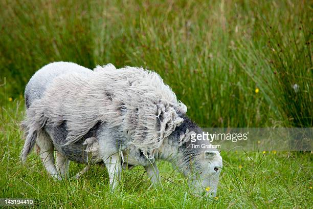 Traditional Herdwick sheep awaiting shearing and grazing on grass at Langdale in the Lake District National Park Cumbria UK