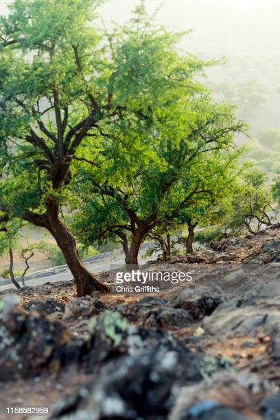 traditional moroccan argan oil - argan tree stock pictures, royalty-free photos & images