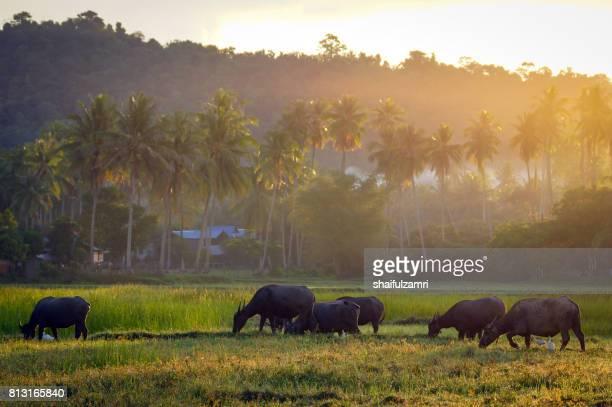 traditional plow on the rice field with buffalo - shaifulzamri stock-fotos und bilder