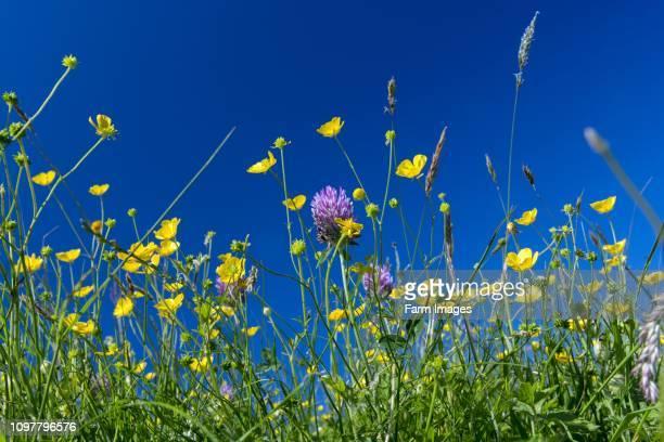 Traditional wildflower hay meadow in full bloom in Hawes Wensleydale North Yorkshire UK