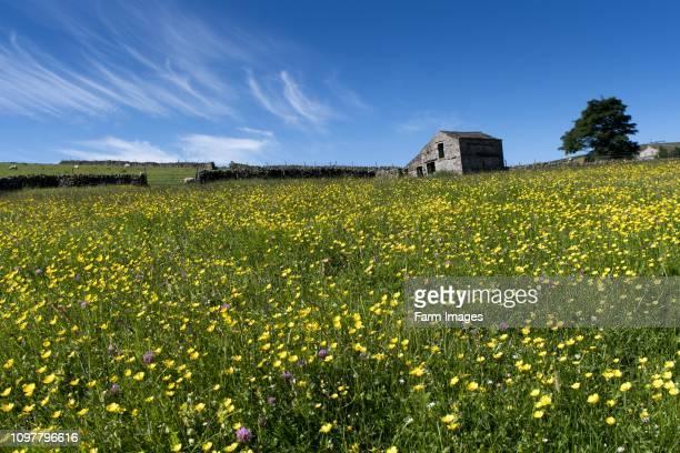 Traditional wildflower hay meadow in full bloom in Hawes, Wensleydale, North Yorkshire, UK.