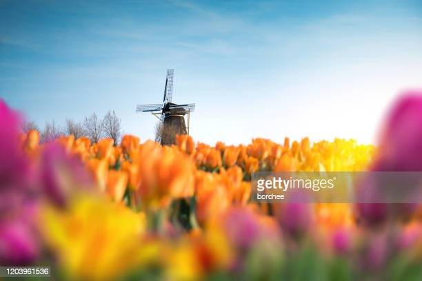 traditional windmill in tulip field - netherlands stock pictures, royalty-free photos & images