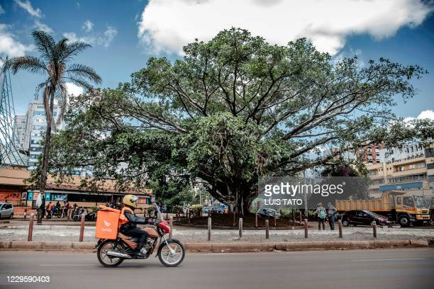 Traffic flows past an iconic century-old fig tree, after a presidential declaration was issued to save the centenary tree from being cut down to make...
