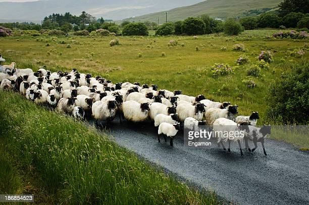 Traffic jam in rural Ireland