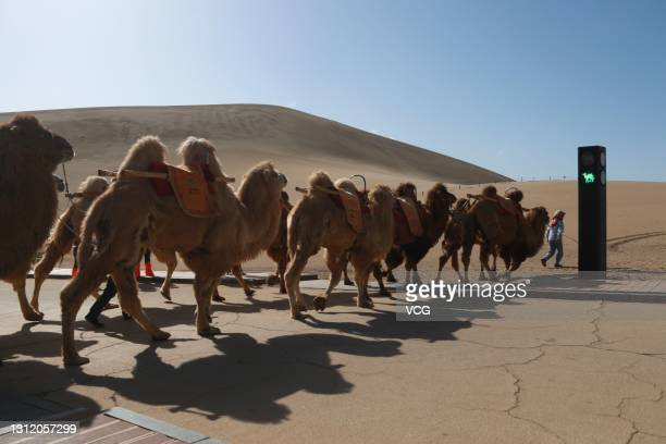 Traffic light for camels is seen at the Mingsha Mountain and Crescent Spring scenic spot on April 11, 2021 in Dunhuang, Gansu Province of China. When...