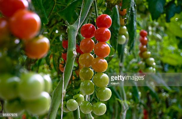 Traffic Light Tomatoes
