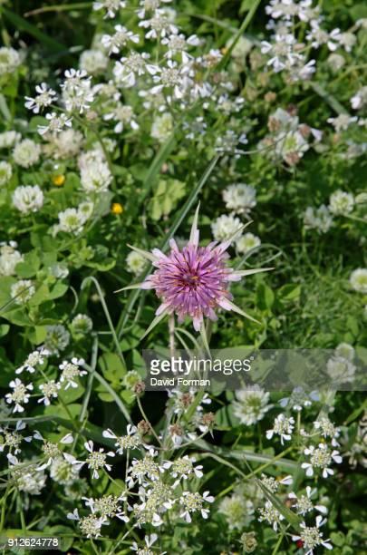 Tragopogon (Salsify) flowering in Spring near Aptera, Crete.