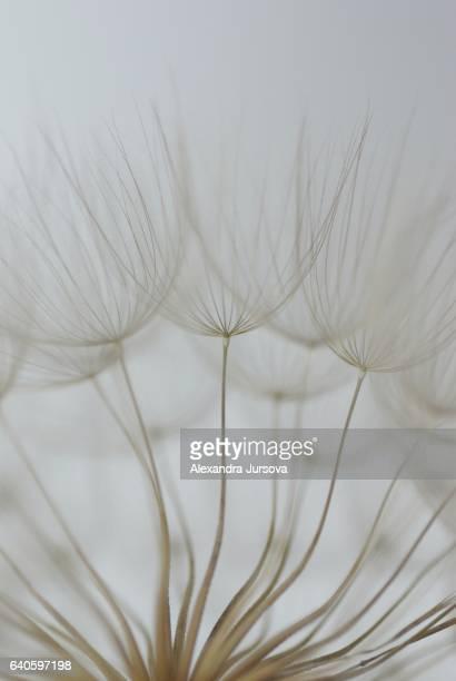 Tragopogon (big dandelion)