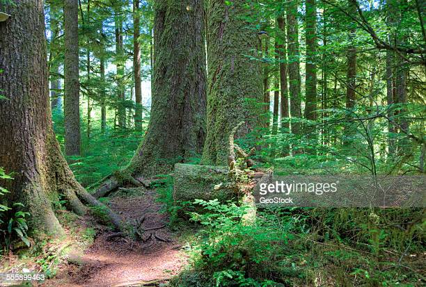a trail in an old growth forest - carmanah walbran provincial park stock pictures, royalty-free photos & images