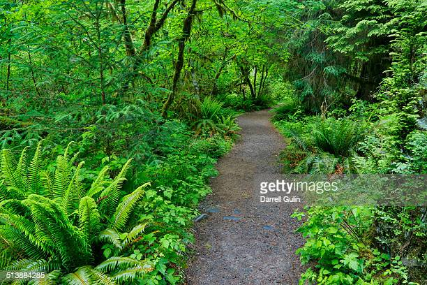 trail in hoh rainforest, olympic n.p. - foresta temperata foto e immagini stock