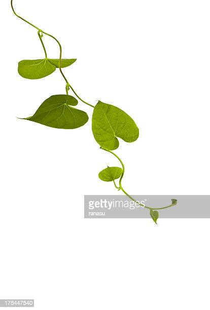 ivy 成長自然
