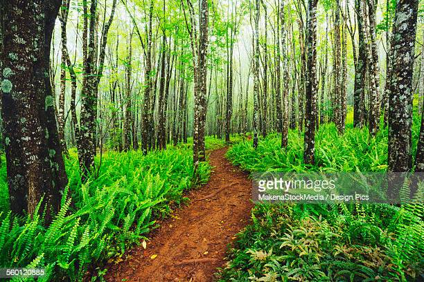trail through beautiful ash trees and native ferns in the makawao forest reserve - nature reserve stock pictures, royalty-free photos & images