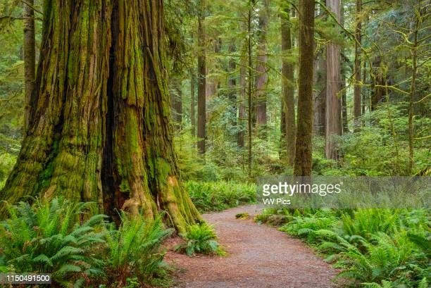 Trail through redwood trees in SimpsonReed Grove Jedediah Smith State Park California