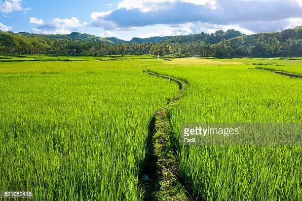 Trail through rice field