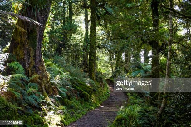 trail through temperate primeval rainforest in te urewera park - ホークスベイ地域 ストックフォトと画像