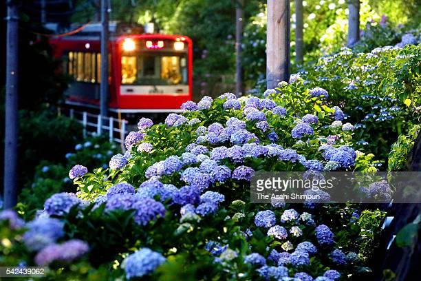 A train of the Hakone Tozan Line runs among illuminated hydrangea on June 18 2016 in Hakone Kanagawa Japan Special night time trains runs until July 3