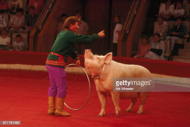 Trained Circus Pig