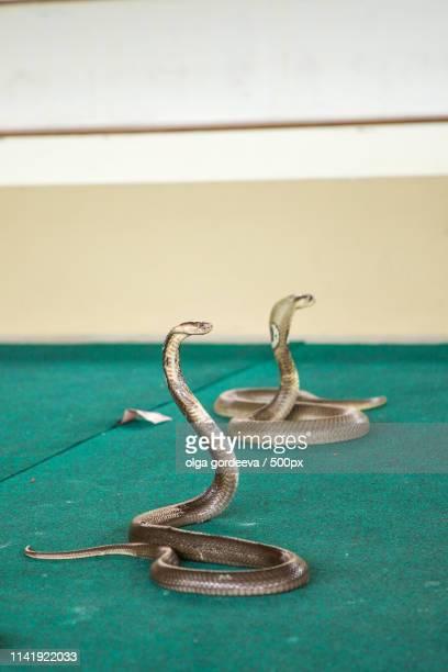 trained cobra on show at the circus - king black circus fotografías e imágenes de stock