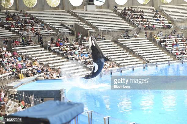 Trained orca jumps out of the water during a show at the SeaWorld amusement park in Orlando, Florida, U.S., on Thursday, June 11, 2020. After an...
