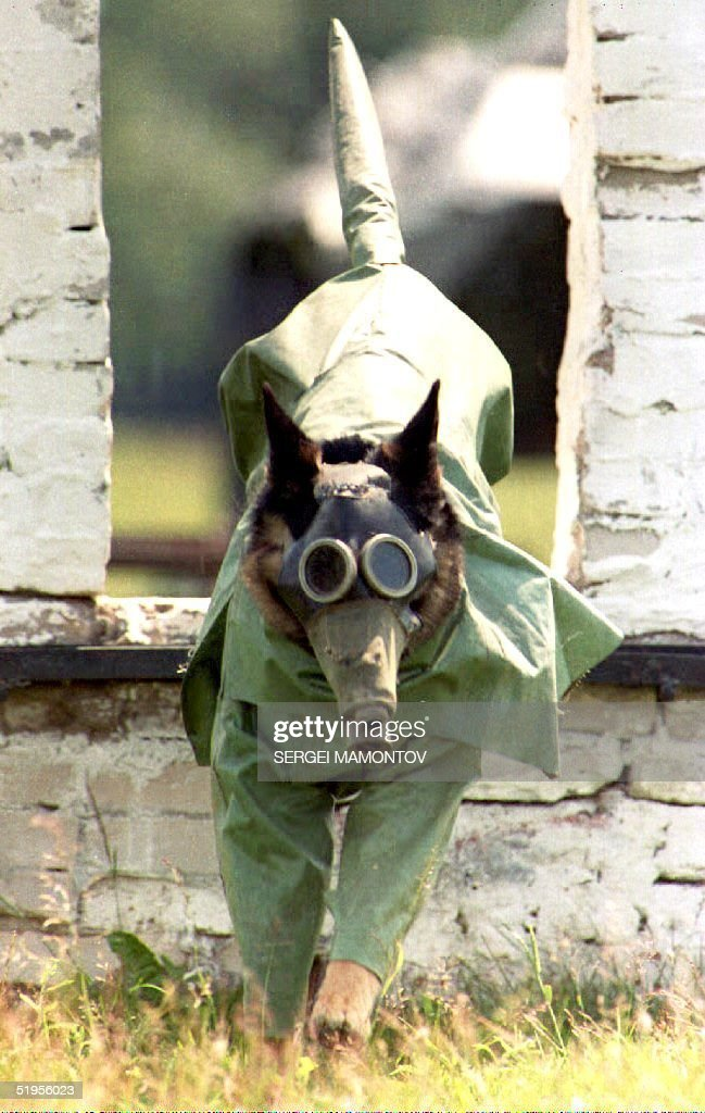 A trained 'war dog,' wearing a radiation suit, jumps through a hole in the wall at this dog training school near Moscow 24 June 1993. The dog, which carries a radio in its mask, can be given orders by its trainer for use in battle situations, such as evacuating wounded soldiers, transporting explosives to enemy positions, and detecting radiation.