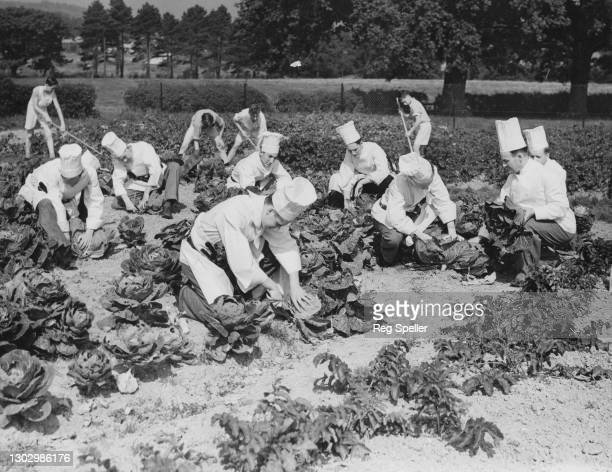 Trainee Chefs from the Westminster School for Waiters and Hotel Mananagement at work picking cabbages and greens in the school gardens for the Dig...