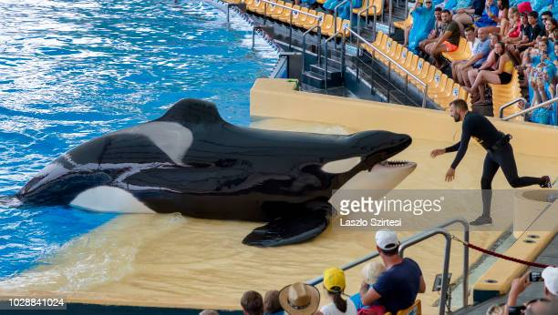 A trainer feeds an orca in the Loro Parque at Puerto de la Cruz on August 17 2018 in Tenerife Spain The Loro Parque was founded by Wolfgang Kiessling...