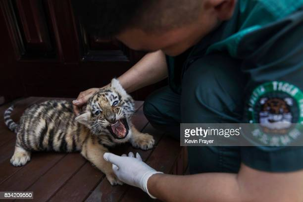 A trainer feeds baby Siberian tiger at the Heilongjiang Siberian Tiger Park on July 5 2017 in Harbin northern China The center is one of two Siberian...