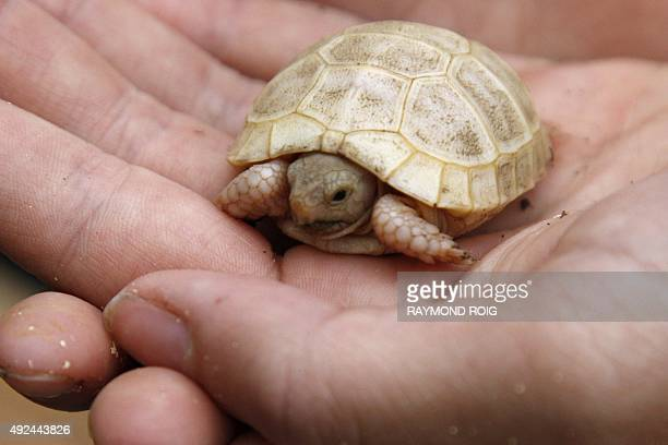 A trainer holds a threeweekold albinos turtle Boettgeri at the Turtle Valley animal park in Sorede on October 13 2015 AFP PHOTO / RAYMOND ROIG