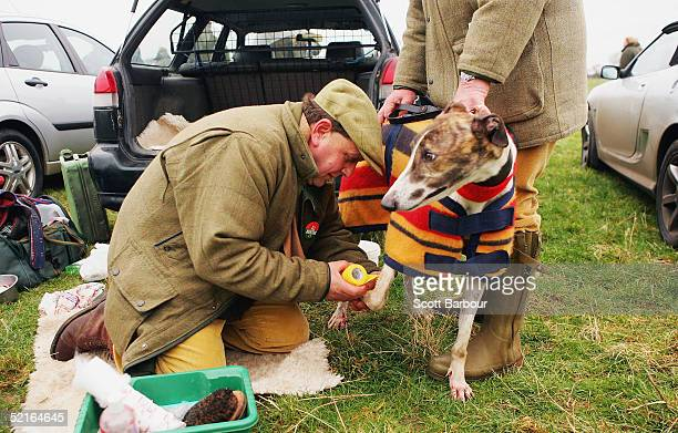 Trainer prepares his dog during the Swaffham Coursing Club Meeting on February 9, 2005 in Saham Toney, England. Coursing is one of the world's oldest...