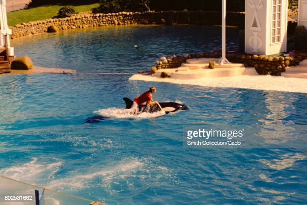 Trainer rides on the back of an orca during a show at Seaworld, San Diego, California, 1975. .