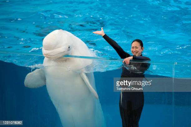 A trainer waves next to a beluga whale during a training session for employees held ahead of the reopening of the Hakkeijima Sea Paradise theme park...