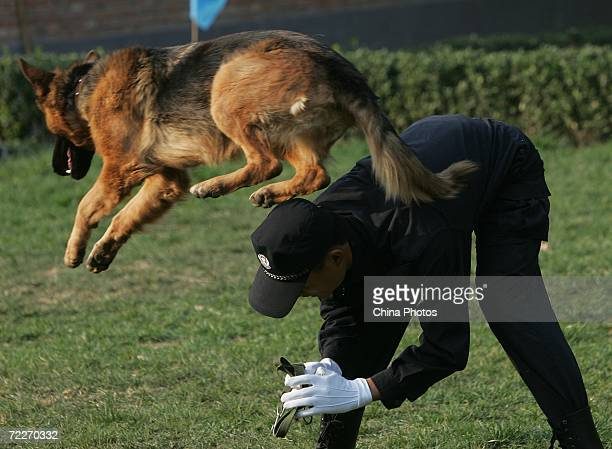 A trainer works with a police canine at a police dog training base October 26 2006 in Beijing China Police sources said the dogs for the Olympic...