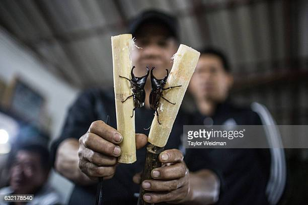 Trainers compare two rhinoceros beetles when preparing for a fight on November 28 2016 in Chiang Mai Thailand According to trainers at this arena...