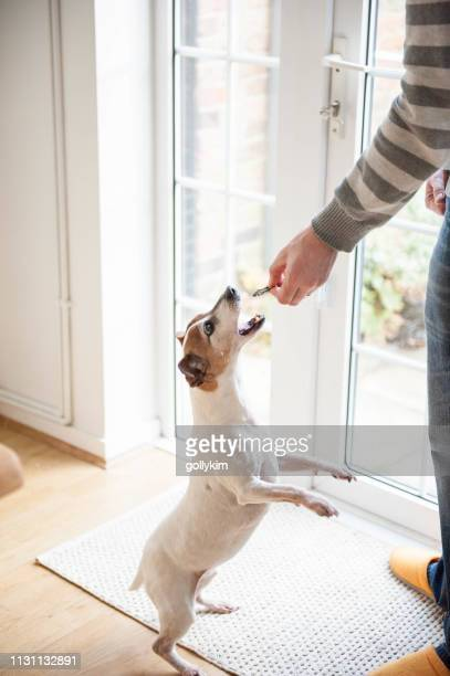 training a jack russell terrier - human doormat foto e immagini stock