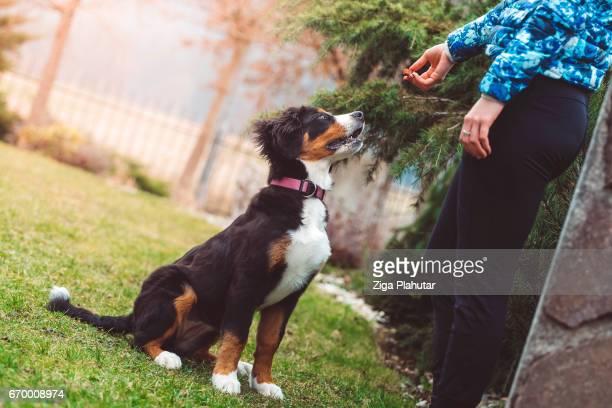 cão de treinamento - cão adestrado - fotografias e filmes do acervo
