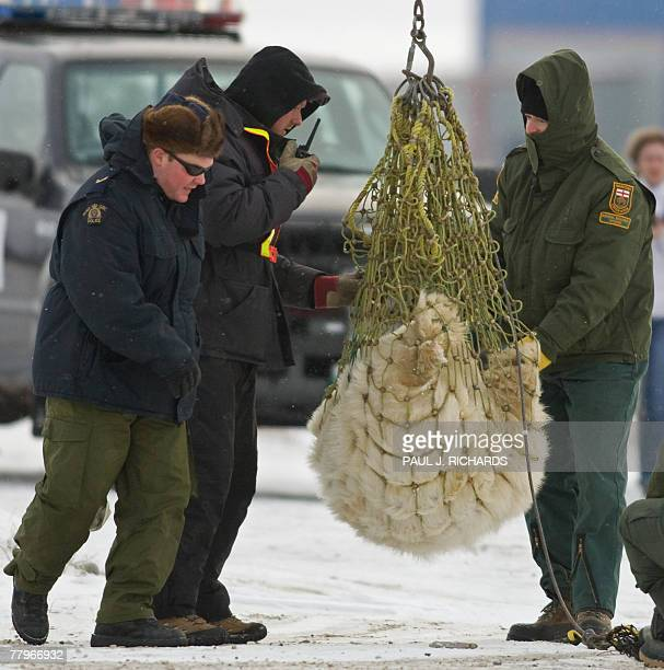 A tranqualized subadult polar bear is in a net and headed out of town after it spent two weeks in the Polar Bear Jail got a lip tattoo a tracking ear...