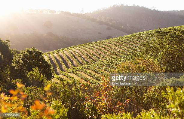 tranqui napa valley scene backlit by warm sunlight - napa valley stock pictures, royalty-free photos & images
