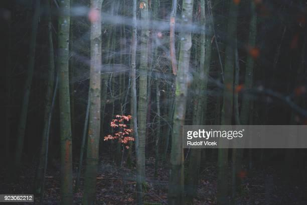 tranquil idyllic dark forest scenery - laubbaum stock-fotos und bilder