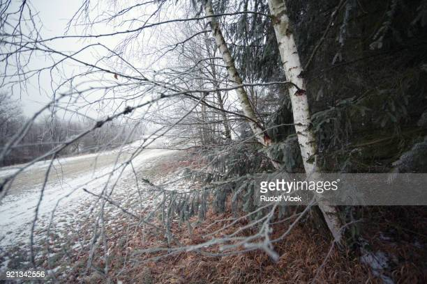 Tranquil idyllic winter scenery, Birch and Spruce trees, icing
