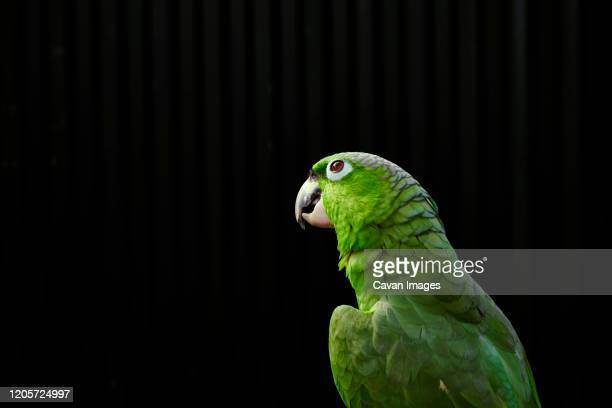 tranquil pensive amazon parrot with bright green feathers - パラキート ストックフォトと画像