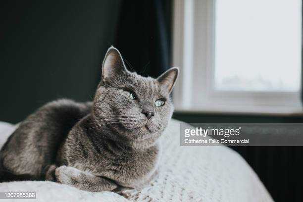 tranquil scene of a sleepy grey cat, curled up on a comfortable bed in a domestic room. window provides copy space. - pure bred cat stock pictures, royalty-free photos & images