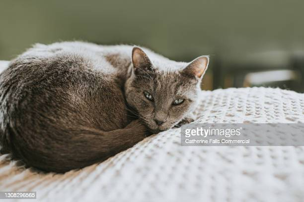 tranquil scene of a sleepy grey cat, curled up on a comfortable bed in a domestic room. - pure bred cat stock pictures, royalty-free photos & images