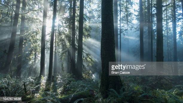 tranquil sunbeams illuminated forest trees - british columbia stock pictures, royalty-free photos & images