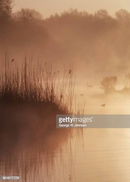 tranquility ii - reed grass family stock photos and pictures