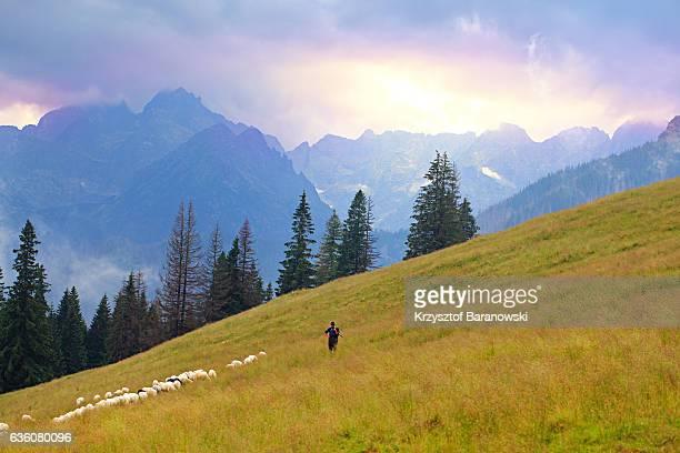 tranquility - pastor de ovelha - fotografias e filmes do acervo