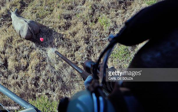 A tranquilizer dart flies through the air after it was shot at a wild male black rhino named Sambu in Lewa conservancy on August 28 2013 11 of Lewa's...