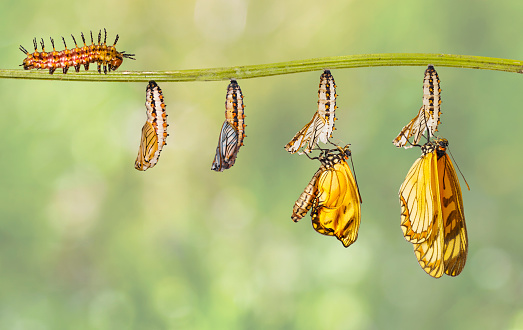 Transformation of yellow coster butterfly ( Acraea issoria ) from caterpillar and chrysalis hanging on twig 1074078616