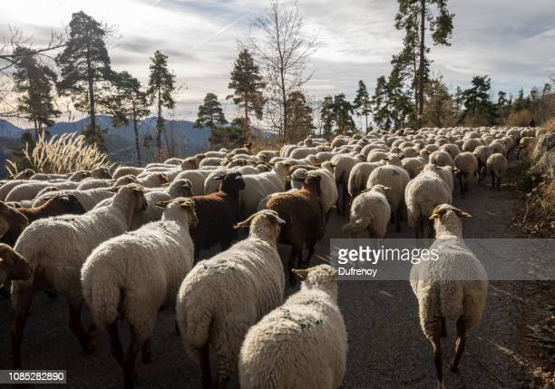 transhumance - alpes maritimes stock pictures, royalty-free photos & images